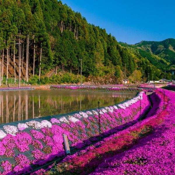 芝桜ロード