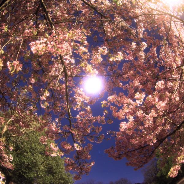 月見河津桜🌸