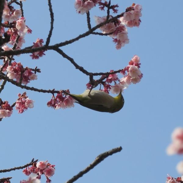 讃岐寒桜とメジロ