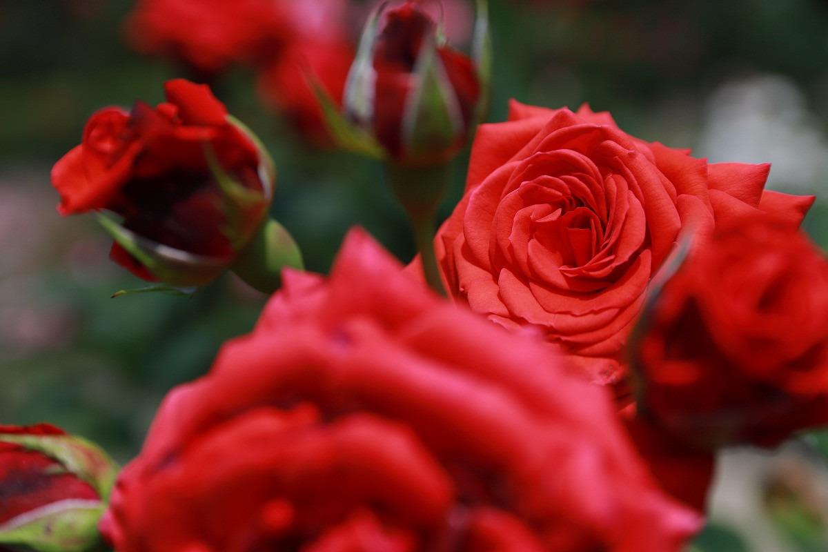 寺尾中央公園のバラ