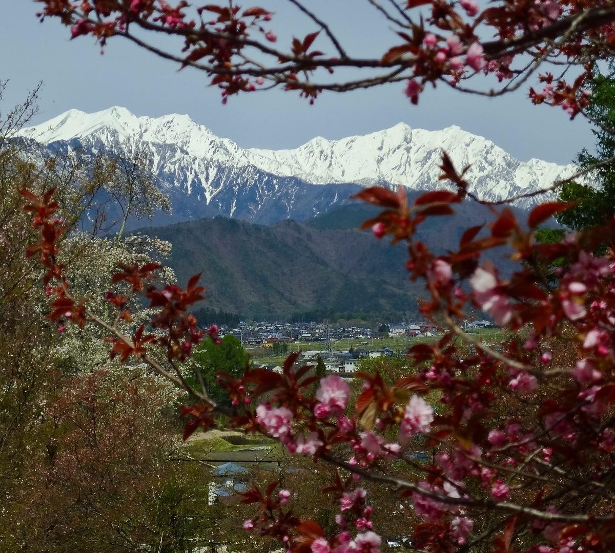 八重桜と北アルプス