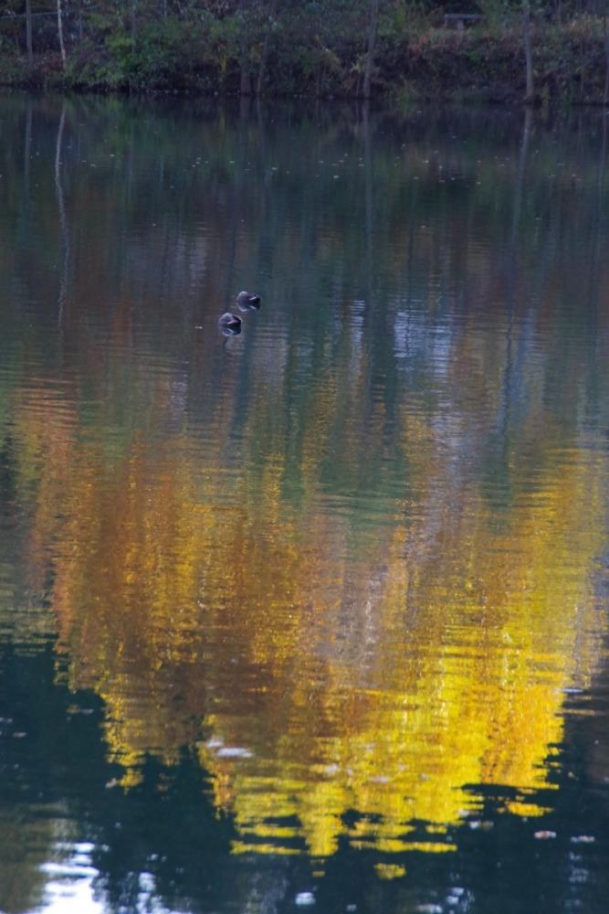 「水面に映る紅葉と鴨」