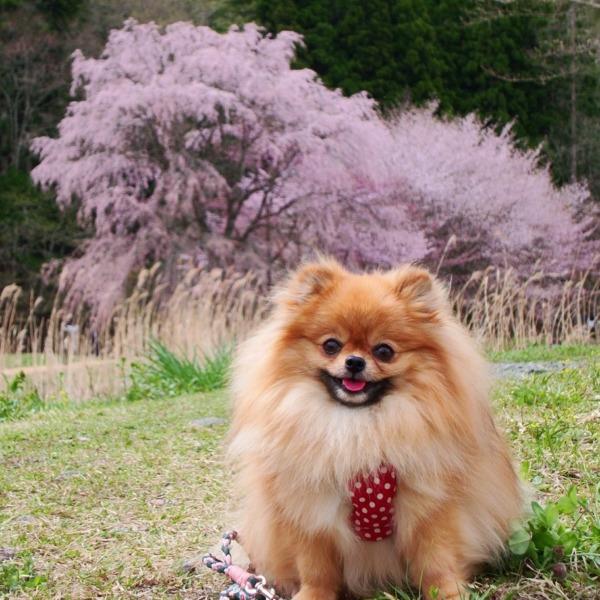 桜なんかに負けないワン!