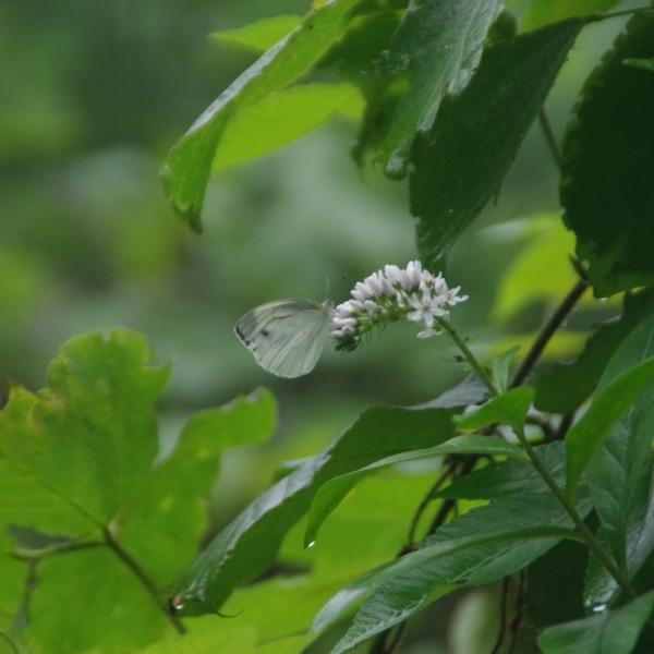 「オカノトラノオに止まるスジグロシロ蝶」
