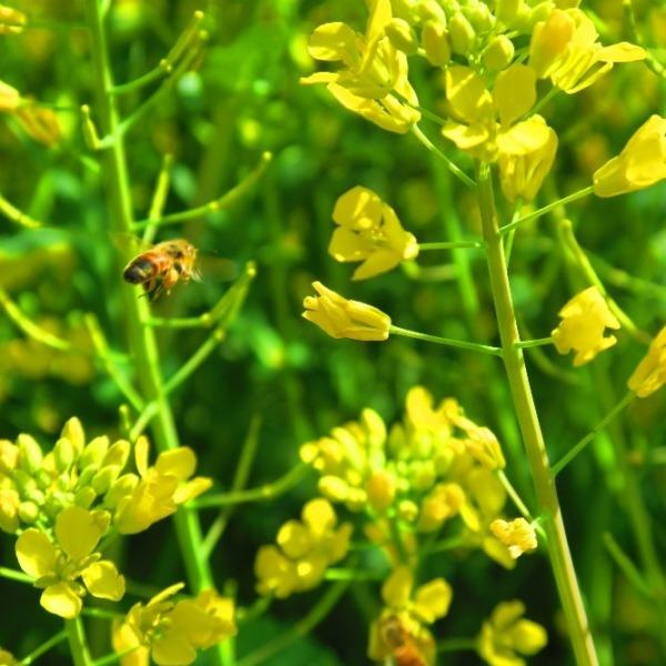 春景色 菜の花とミツバチ