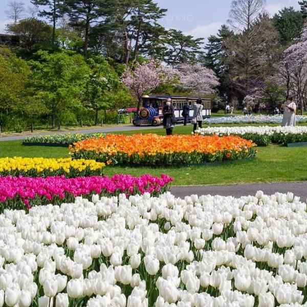 浜松フラワーパークの桜 10