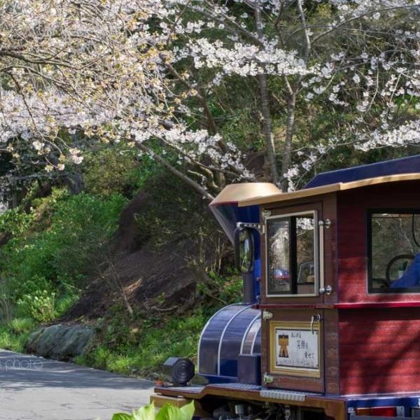 浜松フラワーパークの桜 23