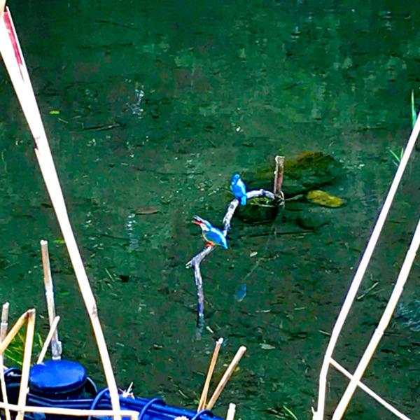 湧水に佇むカワセミ夫婦