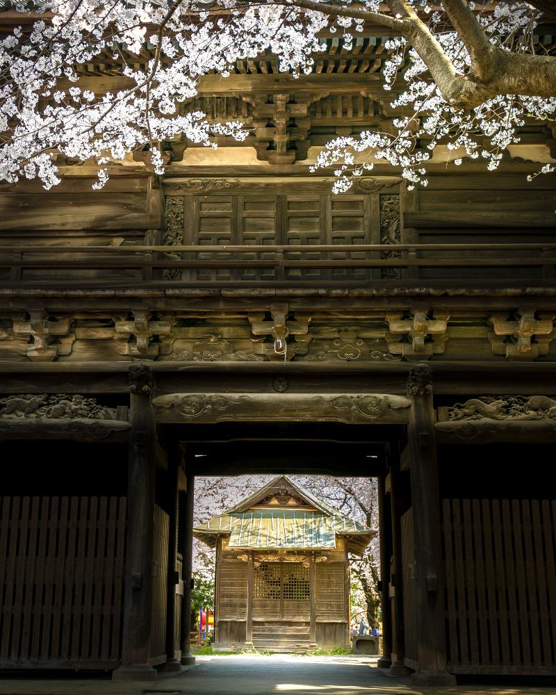 鴻巣 勝願寺 仁王門裏から観る桜と景色