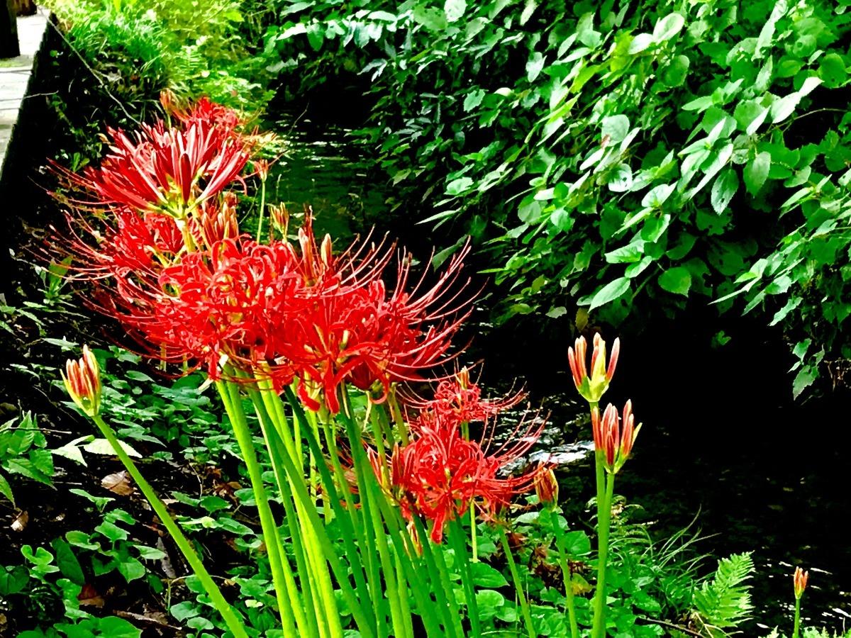 曼珠沙華が咲く野火止用水