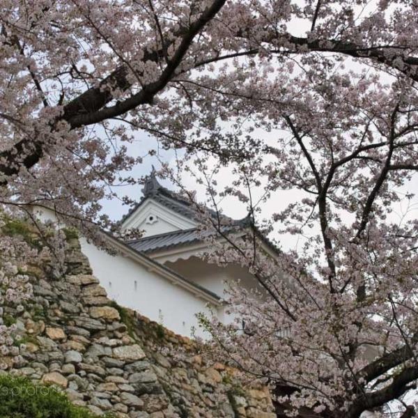 浜松城の桜 3