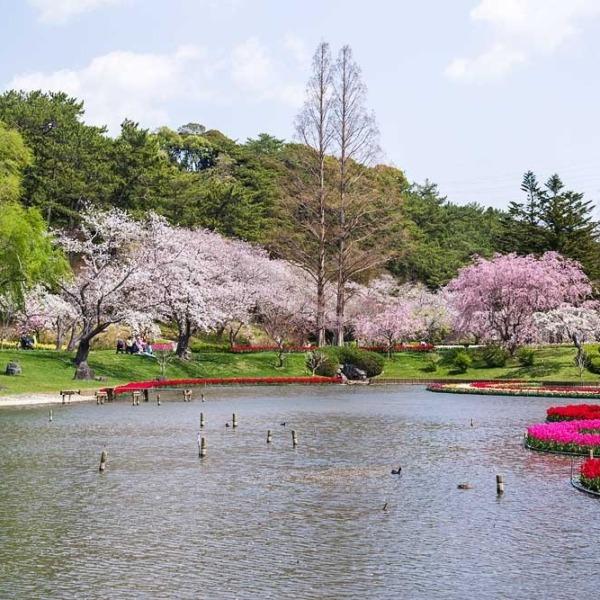 浜松フラワーパークの桜 3