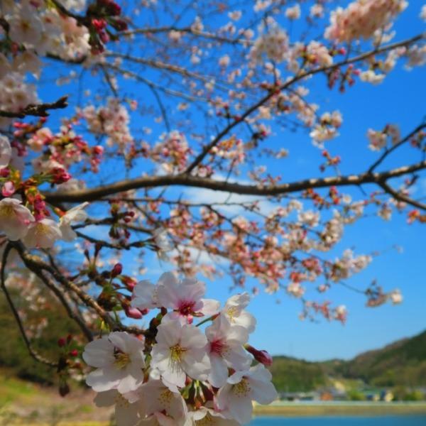 愛らしい桜の花