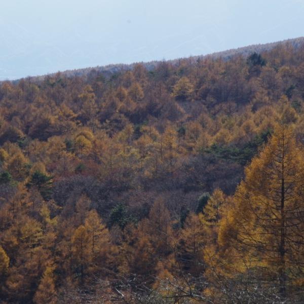 「美し森展望台からの落葉松林の横葉」