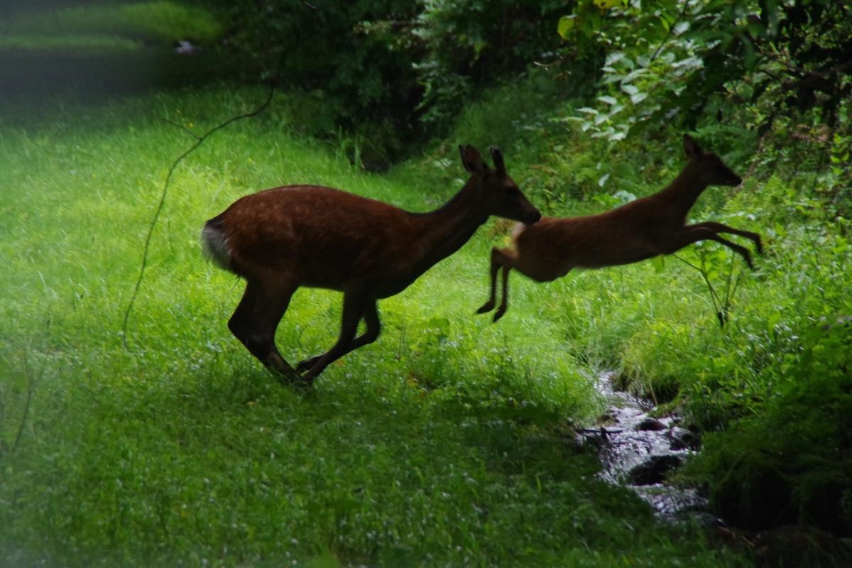 親子鹿のジャンプ!