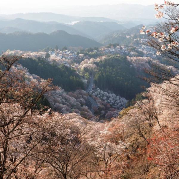 世界遺産『吉野山』桜の絶景🌸
