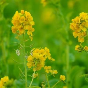 菜の花2021彩✨日比谷公園