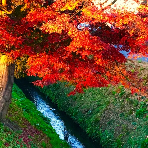 野火止用水の紅葉