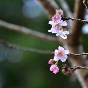 大山の冬桜