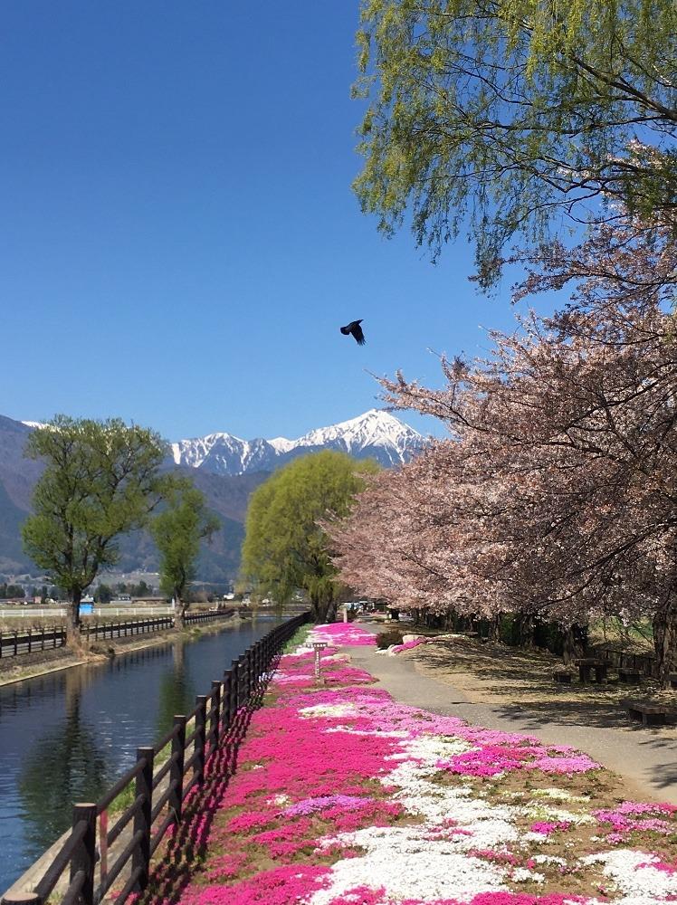 桜と北アルプス常念岳