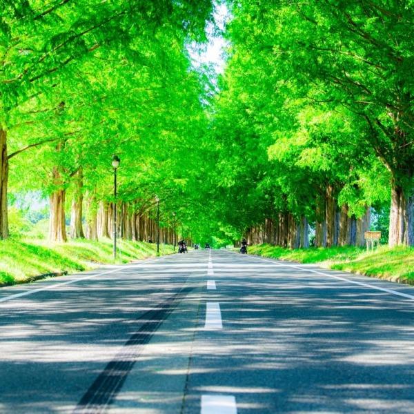 新緑のメタセコイヤ並木道